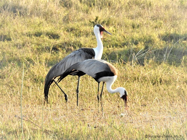 Wattled cranes, Khwai, Botswana, June 2017