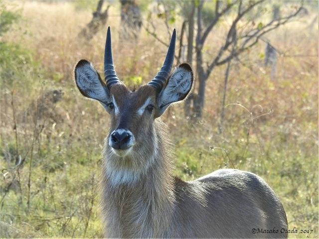 Waterbuck, Khwai, Botswana, June 2017
