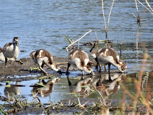 Baby Egyptian geese, Khwai, Botswana, June 2017