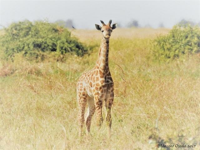 Baby giraffe, Mababe depression, Botswana, June 2017