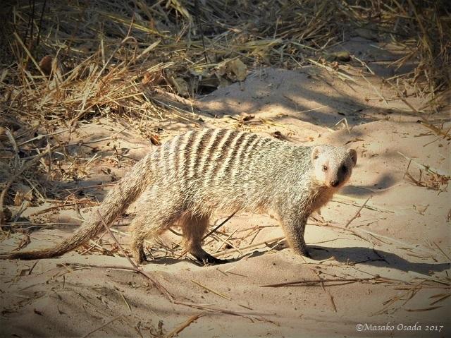 Banded mongoose, Chobe, Botswana, June 2017