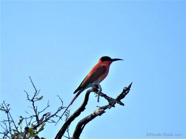 Carmine bee-eater, Chobe, Botswana, June 2017