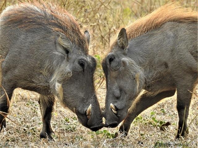 Warthogs, Chobe, Botswana, June 2017