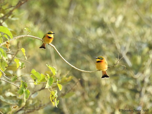 Pair of little bee-eaters, Khwai, Botswana, May 2018