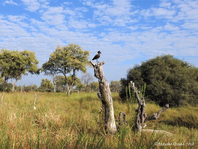 Hamerkop on tree trunk, Khwai, Botswana, May 2018