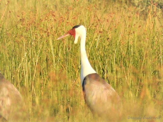 Wattled crane, Khwai, Botswana, May 2018