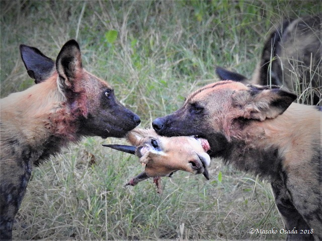Wild dogs fighting over impala head, Khwai, Botswana, May 2018