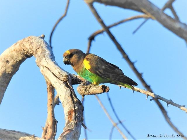 Meyers parrot, Khwai, Botswana, May 2018
