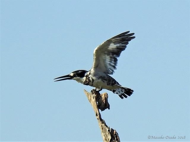Pied kingfisher, Khwai, Botswana, May 2018