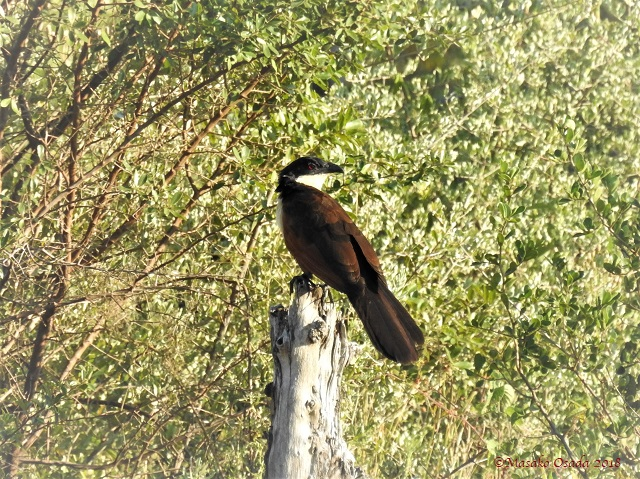 Senegal coucal, Khwai, Botswana, May 2018
