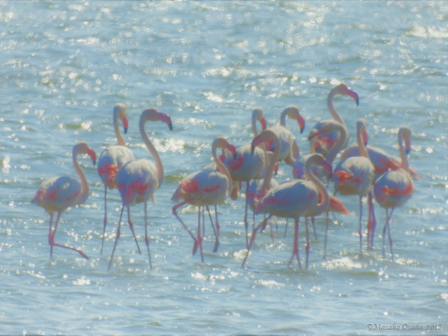 Flamingos, Walvis Bay, Namibia, April 2018