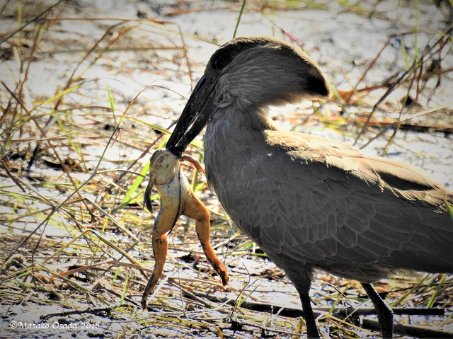 Hamerkop eating frog, Khwai, Botswana, May 2018