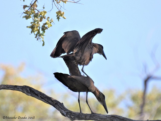 Hamerkop trying to mate?, Khwai, Botswana, May 2018