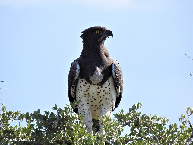 Martial eagle, Etosha, Namibia, May 2018