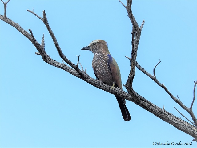 Purple roller, Mababe Depression, Botswana, May 2018on the way to Savuti 180512