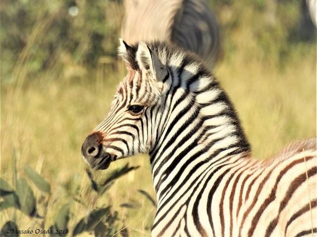 Baby zebra, Savuti, Botswana, May 2018