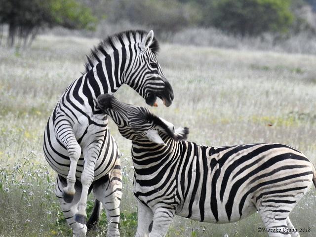 Plains zebras, Etosha, Namibia, May 2018