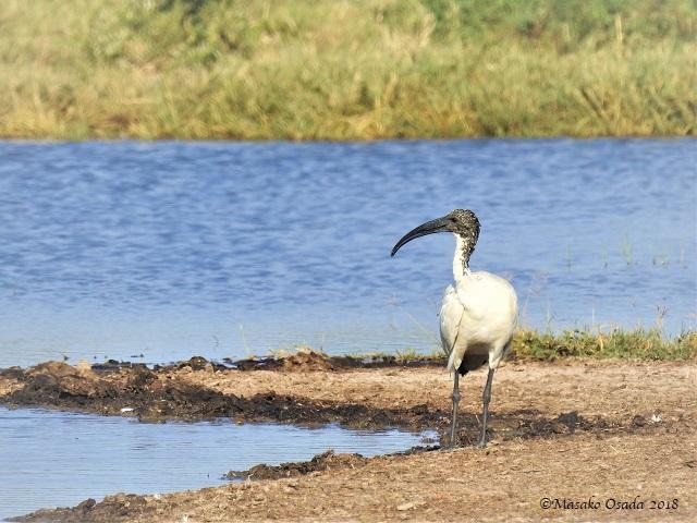 Sacred ibis, Savuti, Botswana, May 2018