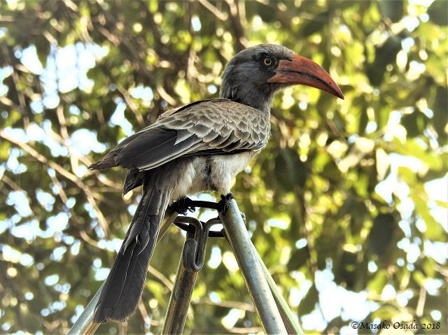 Bradfield's hornbill, Savuti, Botswana, May 2018