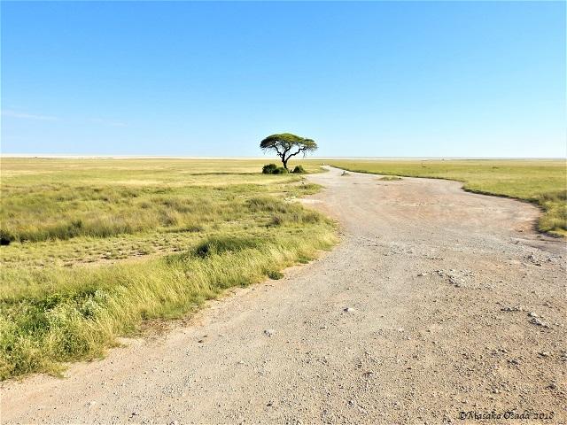 Lone tree, Etosha, Namibia, May 2018