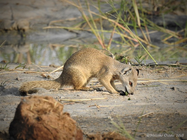 Yellow mongoose, Savuti, Botswana, May 2018