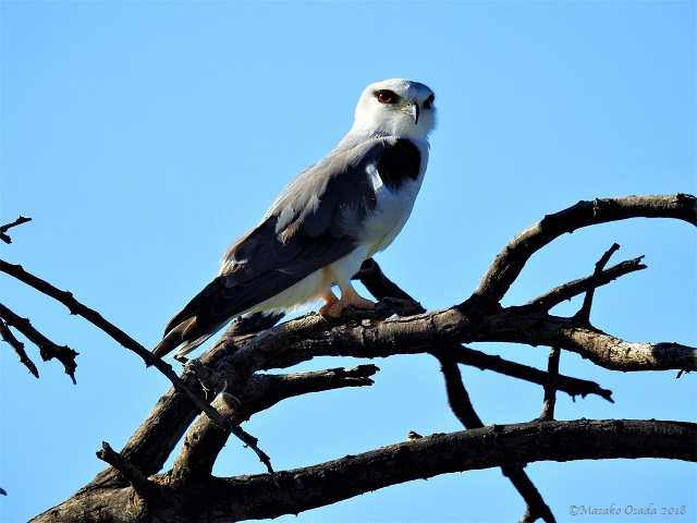 Black-shouldered kite, Etosha, Namibia, May 2018