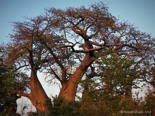 Baobabs, Savuti, Botswana, May 2018