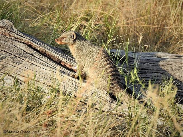 Banded mongoose, Savuti, Botswana, May 2018