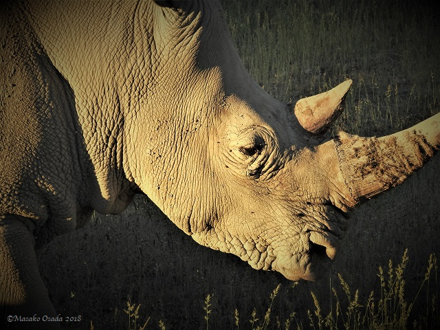 White rhino, Okapuka Ranch, Greater Windhoek, Namibia, May 2018