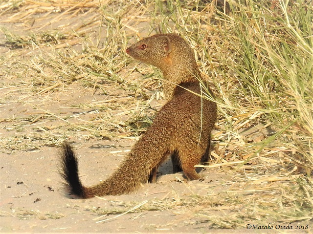 Slender mongoose, Savuti, Botswana, May 2018