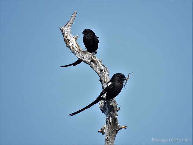Pair of magpie shrike, Savuti, Botswana, May 2018