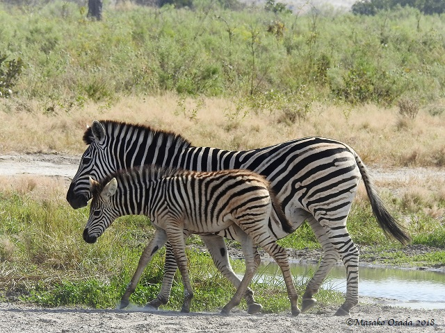 Mother and baby zebras, Savuti, Botswana, May 2018