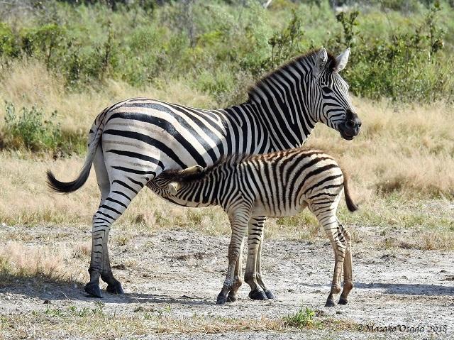 Baby zebra suckling, Savuti, Botswana, May 2018