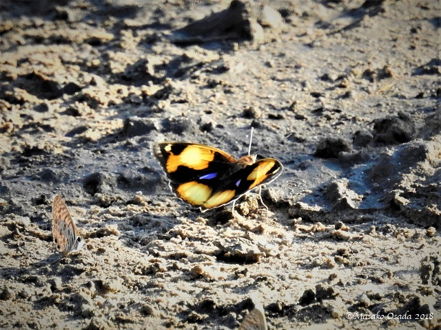 Yellow pansy, Savuti, Botswana, May 2018