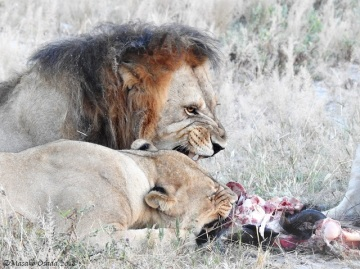 Lions eating wildebeest, Savuti, Botswana, May 2018