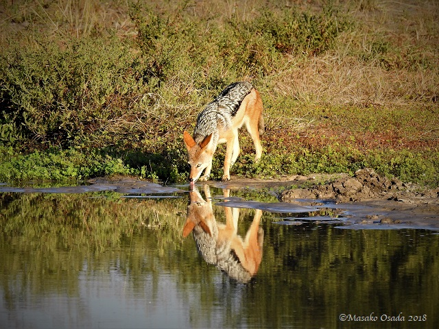 Jackal drinking water, Savuti, Botswana, May 2018