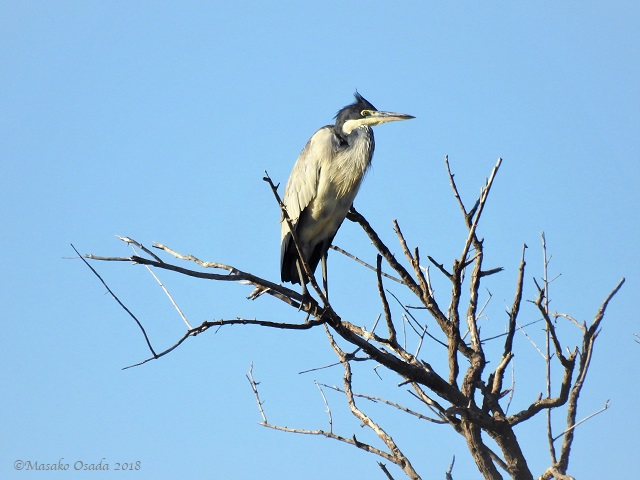Black-headed heron, Savuti, Botswana, May 2018