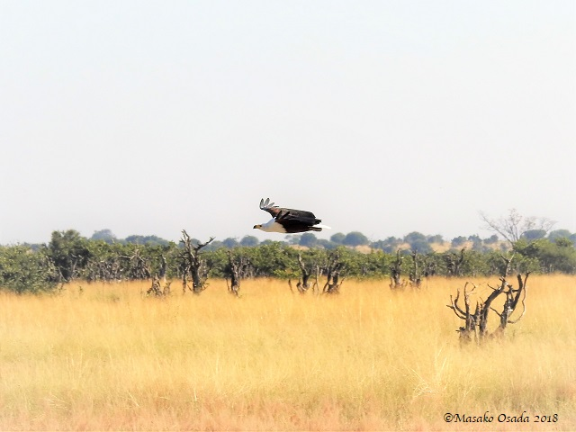 Fish eagle flying, Savuti, Botswana, May 2018