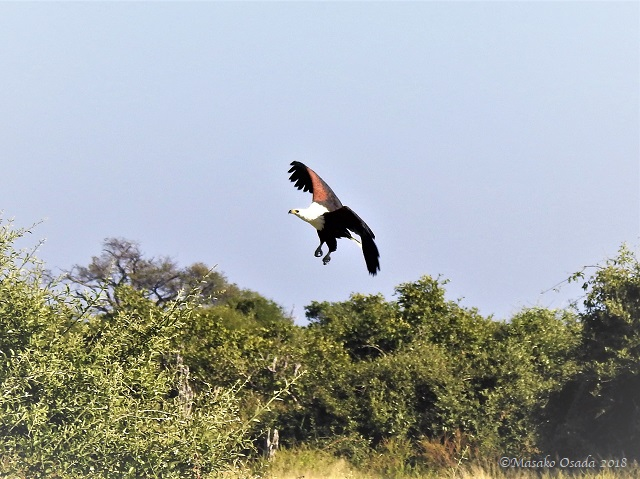 Fish eagle preparing to land on tree, Savuti, Botswana, May 2018