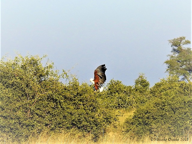 Fish eagle landing, Savuti, Botswana, May 2018