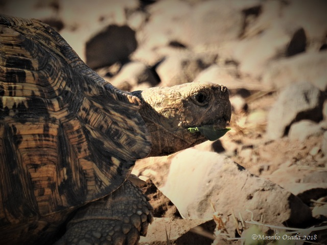 Leopard tortoise eating leaf, Chobe, Botswana, May 2018