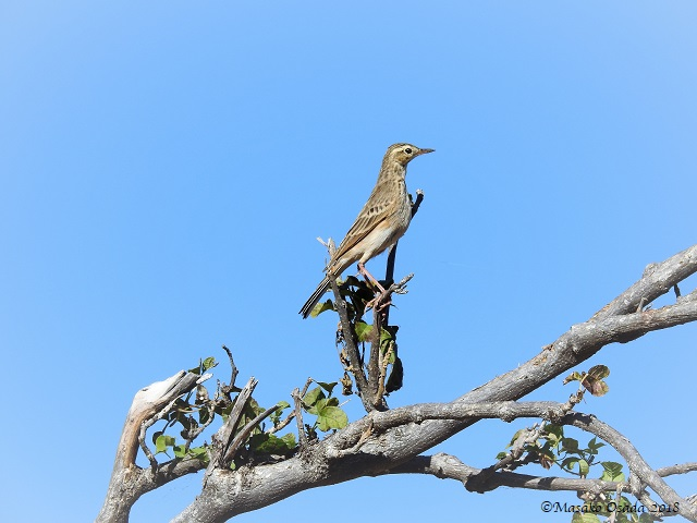 Pipit, Chobe, Botswana, May 2018
