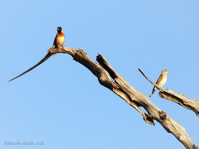 Pair of ong-tailed paradise whydah, Chobe, Botswana, May 2018