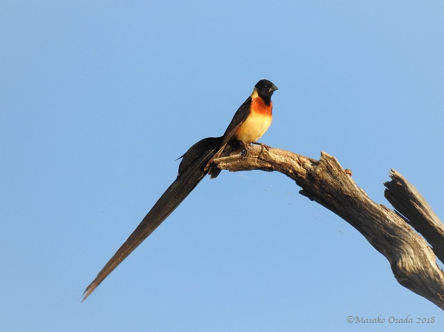 Male long-tailed paradise whydah, Chobe, Botswana, May 2018