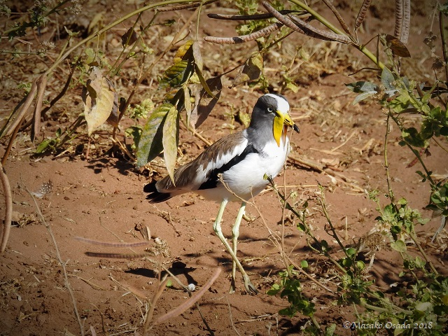 White-crowned lapwing, Chobe, Botswana, May 2018