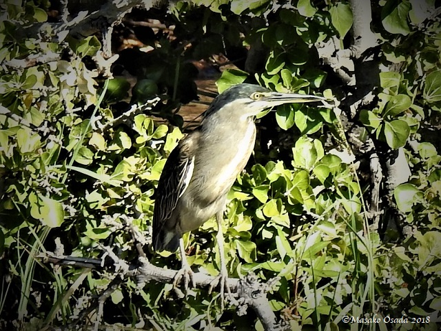 Green-backed heron, Chobe, Botswana, May 2018