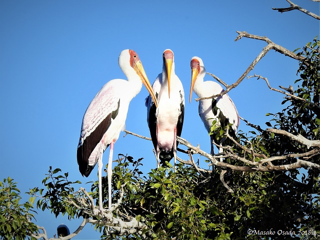 Yellow-billed stork, Chobe, Botswana, May 2018