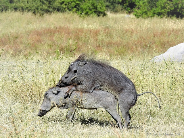 Warthog mating, Chobe, Botswana, May 2018