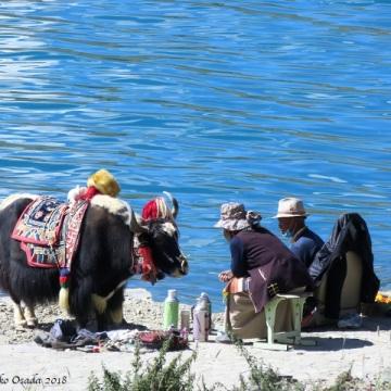 Conversation with a yak. Yamdrok Lake, on the way to Gyangtse, Tibet, September 2018