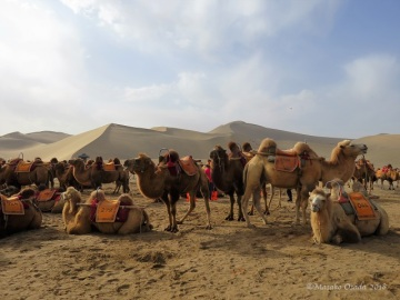 Camels. Mingsha Mountain Crescent Spring Resort, Dunhuang, Gansu, September 2018